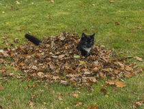 Autumn kitten. Young black and white kitten plays in a pile of leaves Royalty Free Stock Photography