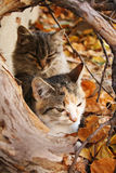 Autumn kittens. In colorful leafs Stock Image