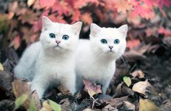 Autumn & kittens. Lovely chinchilla kittens walking in a mysterious autumn forest Royalty Free Stock Photo