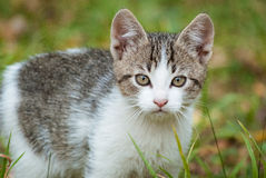 Autumn Kittens 5. A close-up of a European Shorthair kitten with autumn foliage in the background Royalty Free Stock Image