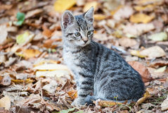 Autumn Kittens 4. A European shorthair tabby kitten surrounded by autumn foliage Stock Image