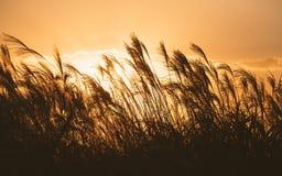 Autumn in Korea: Reeds symbolize the change of seasons silhouette. Horizontal stock photos