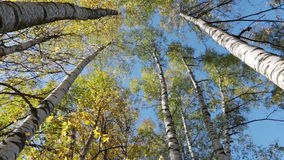 Autumn kroner of birches against the blue sky stock video footage