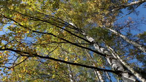 Autumn kroner of birches against the blue sky, turn of a camera.  stock footage