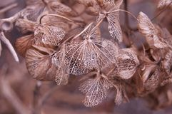 Autumn lace Hydrangea. Autumn Hydrangea, Dried Hydrangea Flowers, flower mesh. autumn lace royalty free stock photo