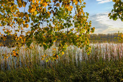 Autumn lake cane trees, green grass Stock Image