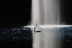 Autumn lake swan nature reflection Royalty Free Stock Images