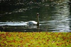 Autumn lake swan nature reflection Stock Image