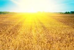 Autumn landsapes. Autumn wheat field in shining sun beams Stock Photo