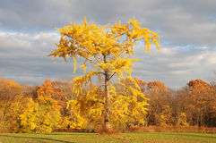 Autumn Landscape. Golden tree in the autumn landscape Royalty Free Stock Image