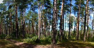 Autumn landscape. With pines in Belarus, panorama Royalty Free Stock Photography