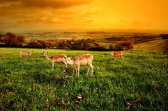 Autumn landscape. A beautiful autumn sunset over rural England with four deer in the foreground Royalty Free Stock Photos