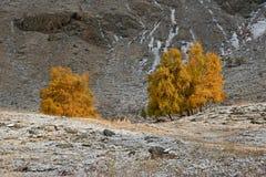 Autumn Landscape With al grupo de abedules con follaje amarillo brillante y nieve recientemente caida en hierba Montaña Autumn La Fotografía de archivo libre de regalías