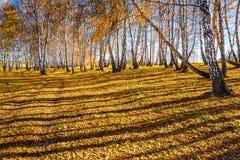 Autumn Landscape Arboleda del abedul con las hojas caidas amarillas Foto de archivo