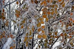 Autumn dry yellow leaves covered by hoarfrost and snow. Autumn landscape. Autumn dry yellow leaves covered by hoarfrost and snow in the park Stock Photography