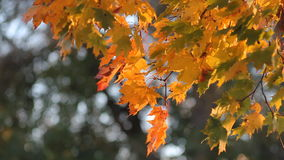 Autumn landscape.Autumn tree in a sunny forest. stock footage