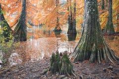 Autumn landscape. Bald Cypress Trees at Boulieu pond, France royalty free stock image