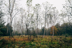 Autumn landscape. The bare forest in autumn royalty free stock photography