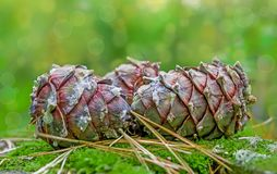 Big ripe cones of the Siberian pine Pínus sibírica on green forest moss, Royalty Free Stock Photography