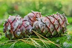 Big ripe cones of the Siberian pine Pínus sibírica on green forest moss, Royalty Free Stock Photo