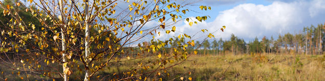 Autumn landscape, birch on the background of meadows and pine forest Royalty Free Stock Photos