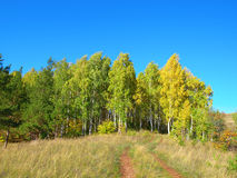 Autumn landscape with birch grove Stock Photography