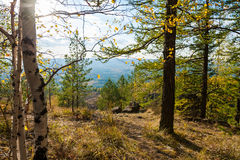 Autumn landscape. Birch and larch tree in the forest in the mountains. Autumn landscape Royalty Free Stock Images