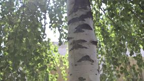 Autumn landscape of the birch woods ,sunlight behind birch tree. The sun stock video footage