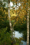 Autumn, landscape with birches Stock Images