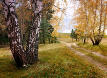 Autumn landscape with birches Stock Images