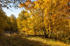 Autumn landscape, birches oak maple trees were painted in autumn. Colors, old grass. Collection of Beautiful Colorful Autumn Leaves green, yellow, orange, red royalty free stock images