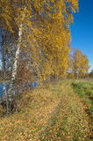 Autumn landscape with birches by the river Stock Photos