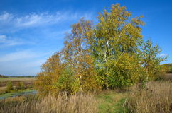 Autumn landscape with birches Royalty Free Stock Image