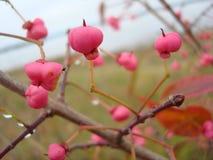 Rosehip berry. royalty free stock photo