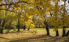 Autumn landscape in a bright sunny day. Golden trees in a bright sunny day. Autumn landscape for calendars, posters, photo wallpapers and other projects related royalty free stock photo