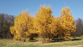 Autumn landscape with bright yellow larch trees stock video footage