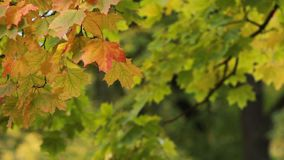Autumn Landscape - bright yellow maple leaves tremble in the wind. Maple in the autumn forest in the rays of the setting sun. Autumn Landscape - bright yellow stock video