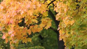 Autumn Landscape - bright yellow maple leaves tremble in the wind. Maple in the autumn forest in the rays of the setting sun. Autumn Landscape - bright yellow stock video footage