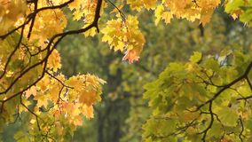 Autumn Landscape - bright yellow maple leaves tremble in the wind. stock video footage