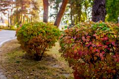 Autumn landscape. the bushes in the Park. nature in autumn royalty free stock images