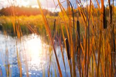Cattail in swamp. Autumn landscape with cattail on the lake in the sunlight stock image