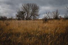 Autumn Landscape Ciel grave sombre, arbres nus isolés dans un domaine jaune image libre de droits