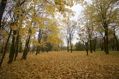 Autumn landscape in the city park. On the ground a carpet of fallen yellow leaves of different shades. The remains of foliage are Royalty Free Stock Image