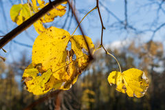 Autumn landscape in the city park leaves of trees close up Royalty Free Stock Image