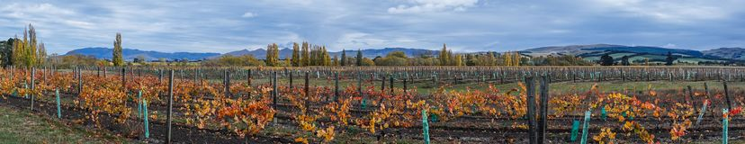 Autumn landscape with colorful vineyards stock photo
