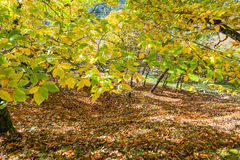 Autumn landscape in countryside. Green and yellow leaves in the trees with brown dry ones covering the soil Royalty Free Stock Images