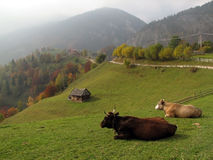Autumn landscape with cows Royalty Free Stock Photos