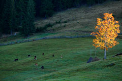 Autumn Landscape with cows and golden tree Royalty Free Stock Photo