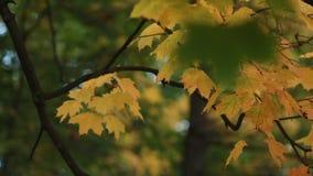Autumn Landscape - de heldere gele esdoornbladeren beven in de wind stock videobeelden