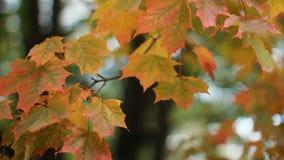 Autumn Landscape - de heldere gele esdoornbladeren beven in de wind stock video